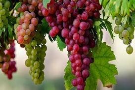 http://www.sakler.com/mengenal-mengetahui-manfaat-anggur-serta-cara-pengolahannya-pada-penderita-impotensi/